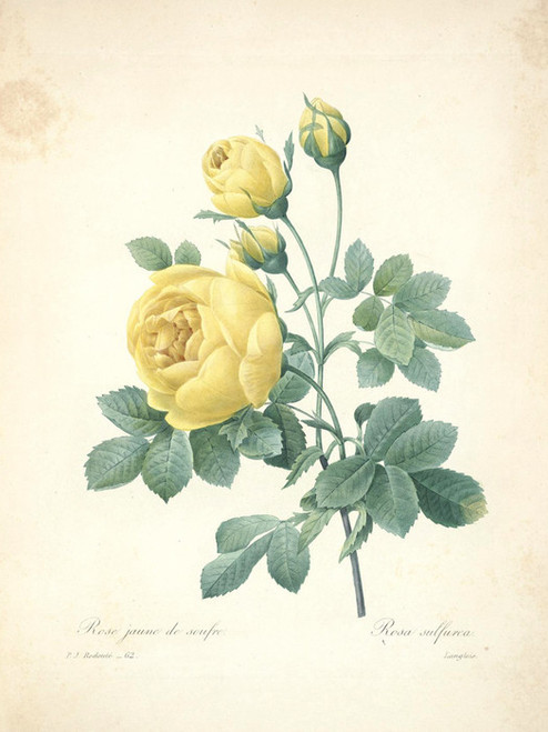Art Prints of Yellow Rose, Plate 65 by Pierre-Joseph Redoute