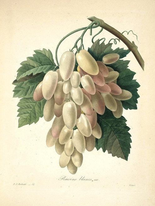Art Prints of White Grapes, Plate 35 by Pierre-Joseph Redoute