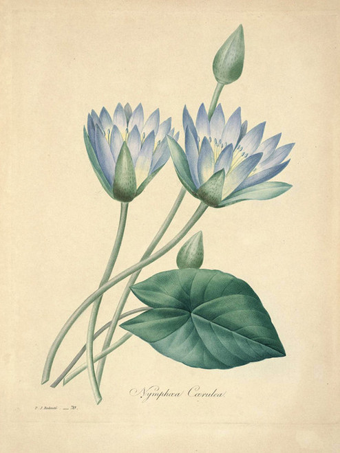 Art Prints of Blue Lotus, Plate 43 by Pierre-Joseph Redoute