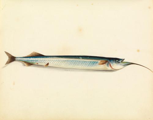 Art Prints of Garfish by W. B. Gould