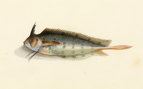 Art Prints of Crested Weed Fish by W. B. Gould