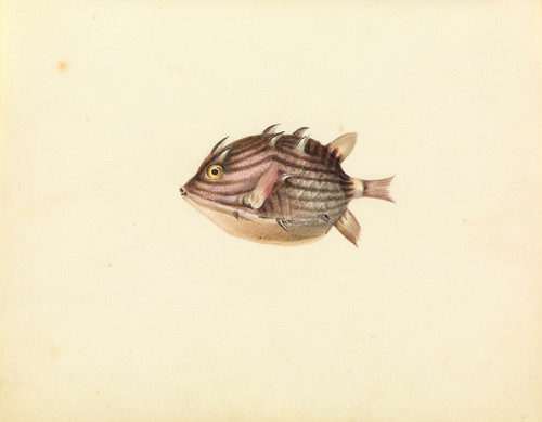 Art Prints of Cow or Coffer Fish by W. B. Gould