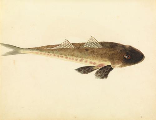 Art Prints of Flathead by W. B. Gould
