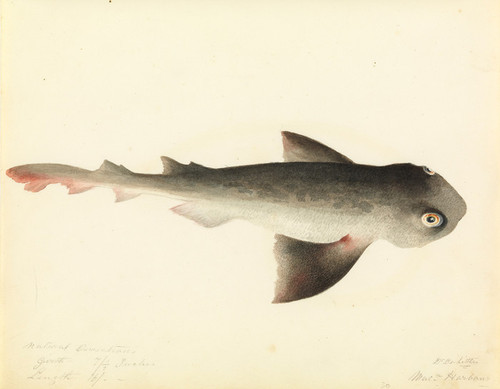 Art Prints of Nurse Shark by W. B. Gould