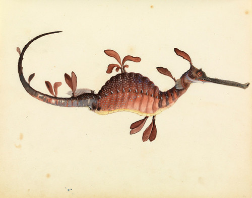 Art Prints of Leafy Sea Dragon by W. B. Gould