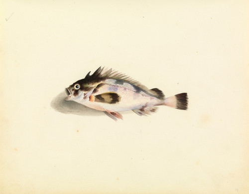 Art Prints of Soldier Fish by W. B. Gould
