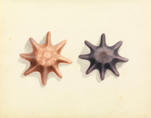 Art Prints of Starfish by W. B. Gould