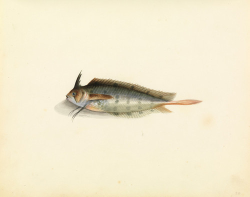 Art Prints of Weed Fish by W. B. Gould