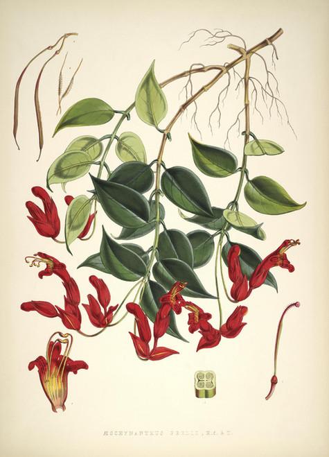 Art Prints of Aeschynanthus Peelii by Walter Hood Fitch