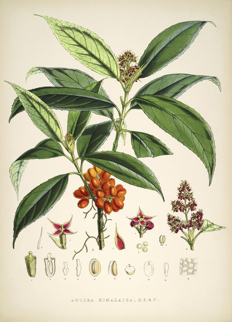 Art Prints of Aucuba Himalaica by Walter Hood Fitch