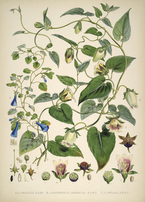 Art Prints of Codonopsis Gracilis by Walter Hood Fitch
