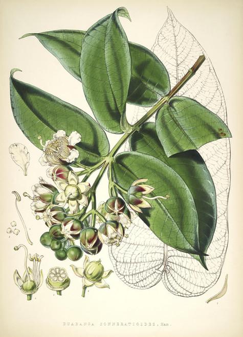 Art Prints of Duabanga Grandiflora by Walter Hood Fitch
