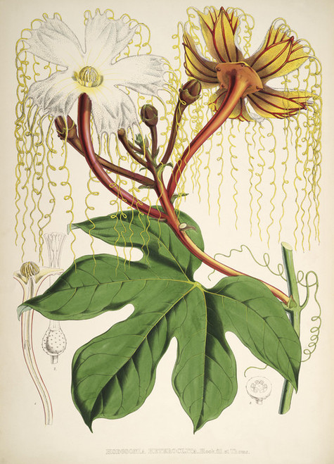 Art Prints of Hodgsonia, Male by Walter Hood Fitch