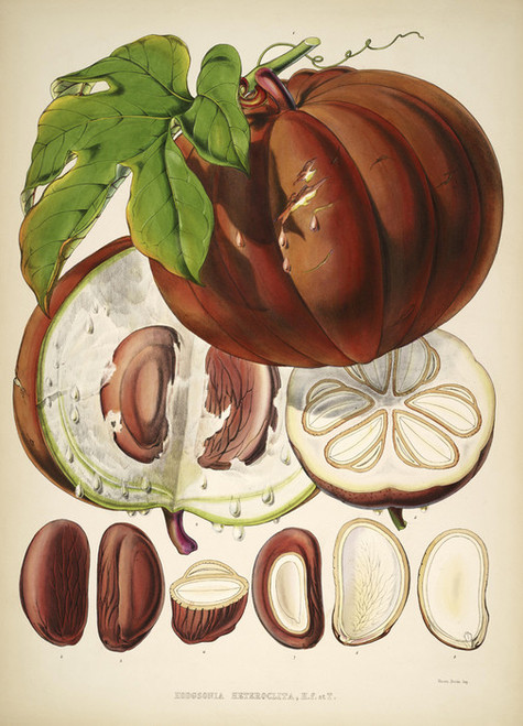 Art Prints of Hodgsonia Fruit by Walter Hood Fitch