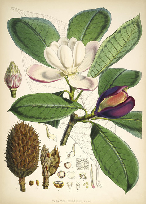 Art Prints of Talauma Hodgsoni Magnolia by Walter Hood Fitch