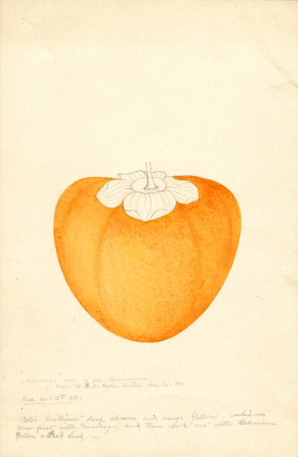 Art Prints of Among Persimmon by William Henry Prestele