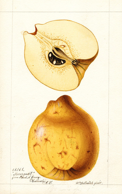 Art Prints of Bourgeat Quinces by William Henry Prestele