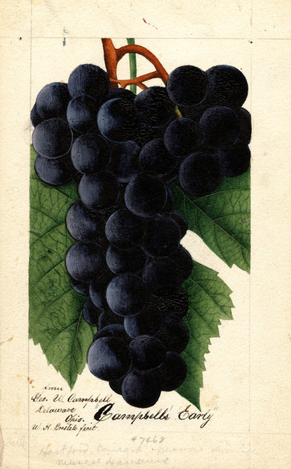 Art Prints of Campbell's Early Grapes by William Henry Prestele