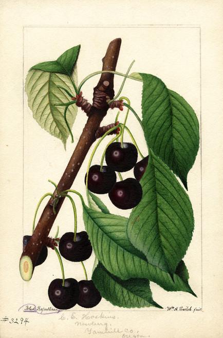 Art Prints of Black Republican Cherries by William Henry Prestele