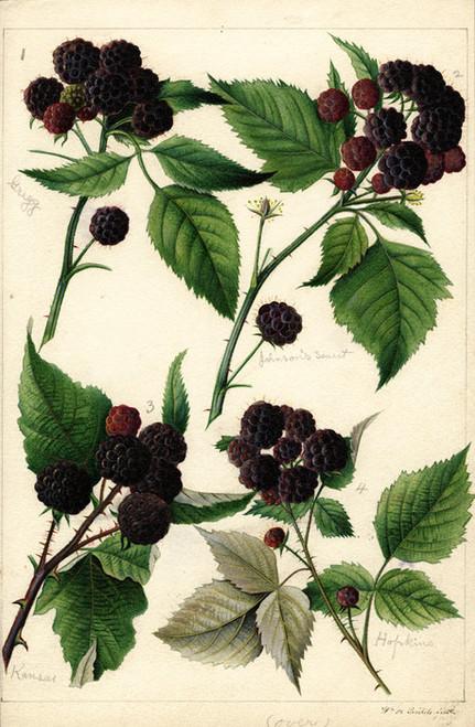 Art Prints of Black Raspberries by William Henry Prestele