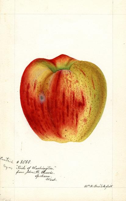 Art Prints of Cantrel Apple II by William Henry Prestele