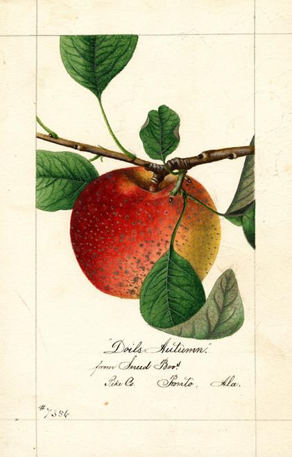 Art Prints of Doils Autumn Apple by William Henry Prestele