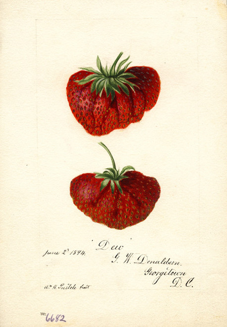 Art Prints of Dew Strawberries by William Henry Prestele