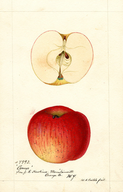 Art Prints of Conner Apples by William Henry Prestele