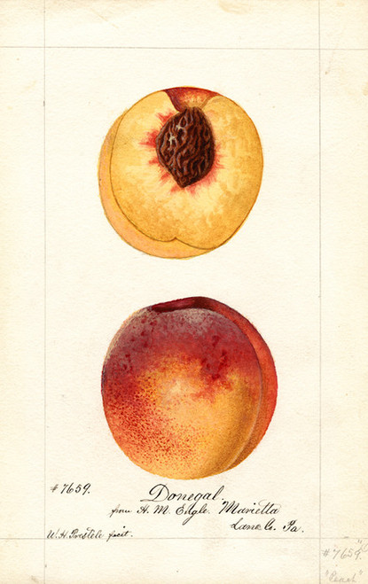 Art Prints of Donegal Peaches by William Henry Prestele