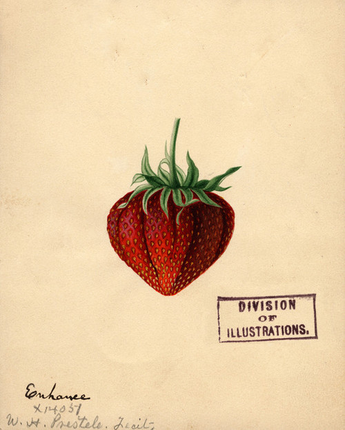 Art Prints of Enhance Strawberry by William Henry Prestele