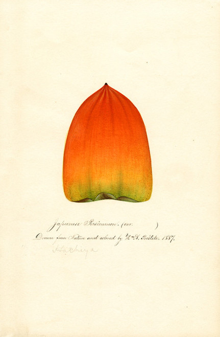Art Prints of Hachiya Persimmon by William Henry Prestele