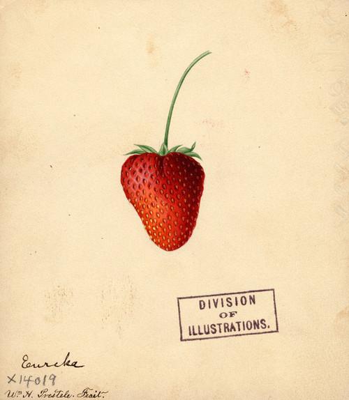 Art Prints of Eureka Strawberry by William Henry Prestele