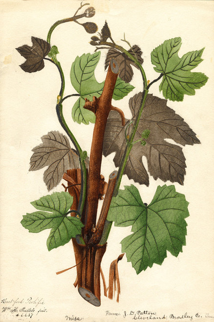 Art Prints of Hartford Prolific Grapes by William Henry Prestele