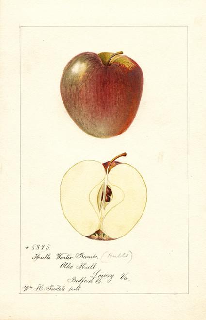 Art Prints of Hull's Winter Rambo Apples by William Henry Prestele