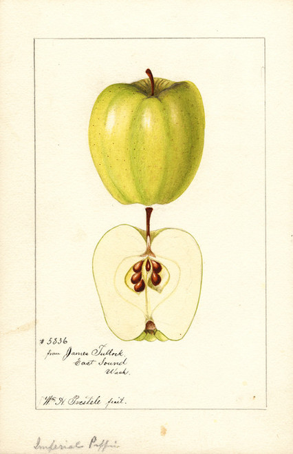 Art Prints of Imperial Pippin Apples by William Henry Prestele