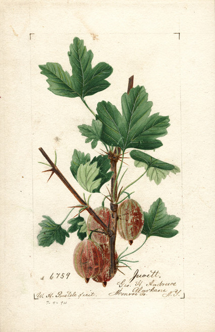 Art Prints of Jewett Gooseberries by William Henry Prestele