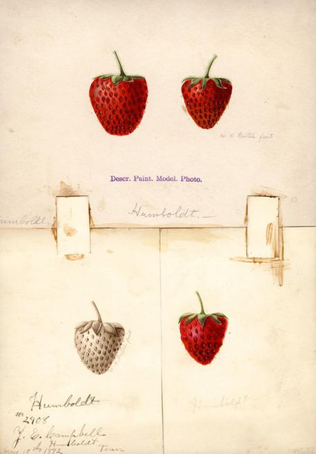 Art Prints of Humboldt Strawberries by William Henry Prestele