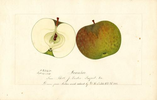 Art Prints of Ivanhoe Apples by William Henry Prestele
