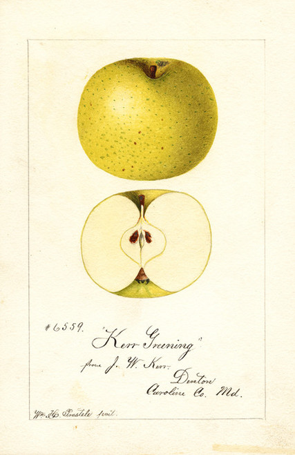 Art Prints of Kerr Greening Apples by William Henry Prestele