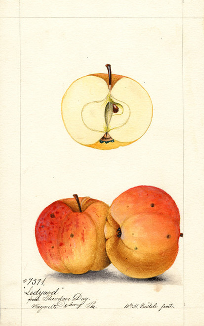 Art Prints of Ledyard Apples by William Henry Prestele