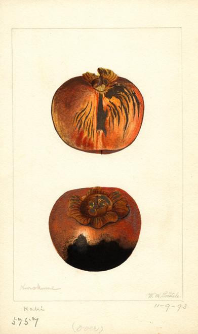 Art Prints of Kurokuma Persimmons by William Henry Prestele