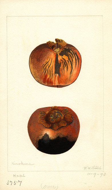 Art Prints of Kurokuma Persimmons by William Henry Prestele