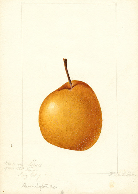 Art Prints of Madam Von Seiboldt Pear by William Henry Prestele