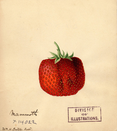 Art Prints of Mammoth Strawberry by William Henry Prestele