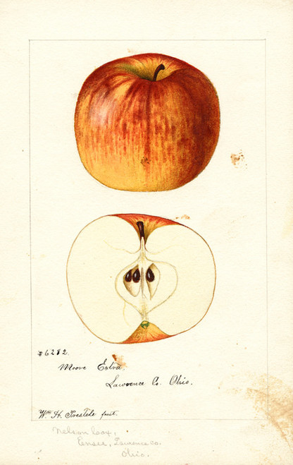 Art Prints of Moore Extra Apples by William Henry Prestele