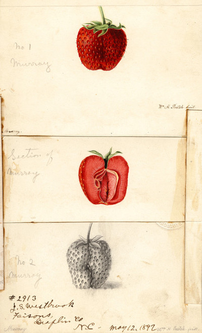 Art Prints of Murray Strawberries by William Henry Prestele