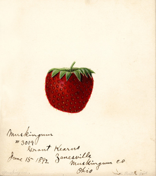 Art Prints of Muskingum Strawberry by William Henry Prestele