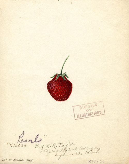 Art Prints of Pearl Strawberry by William Henry Prestele