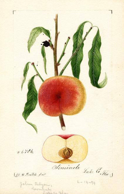 Art Prints of Seminole Apples by William Henry Prestele