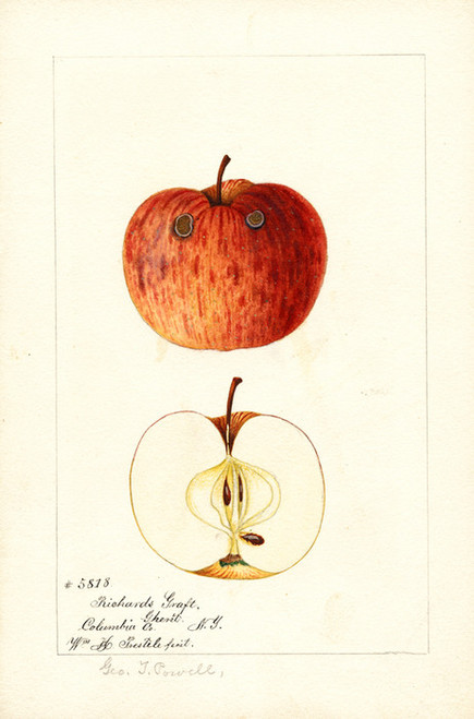Art Prints of Richards Graft Apples by William Henry Prestele